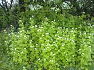 Garlic Mustard at the top of our Village Green